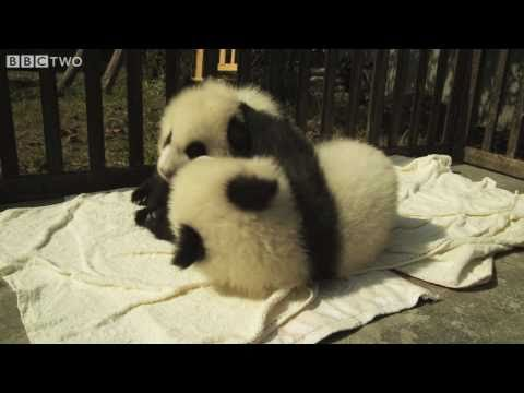 Two cute baby pandas become friends - Natural World Special: Panda Makers - BBC Two