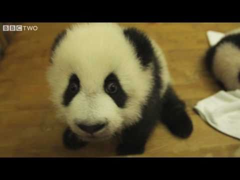 Cute Baby Pandas in a Nursery - Natural World Special: Panda Makers - BBC Two