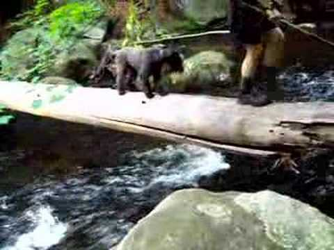 Kerry Blue Terrier Crossing A River On A Log